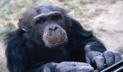 Primate Behavior program to continue in wake of chimps' departure