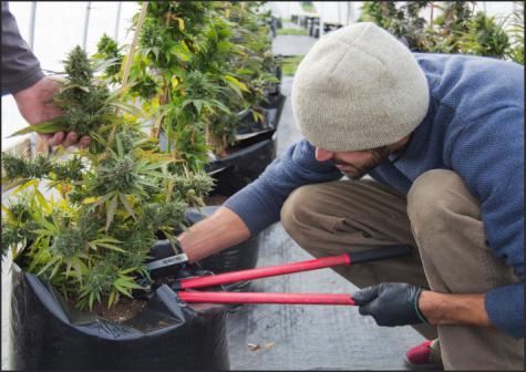 Ellensburg marijuana growers prepare for harvest