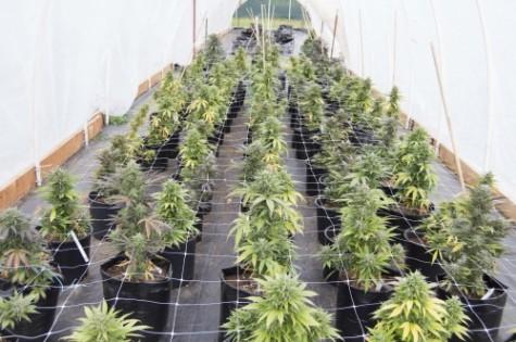 The EverGreen Scene: Marijuana tax revenue, prices, likely to vary