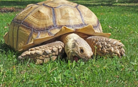 Central's tortoise meets thousands of students a year