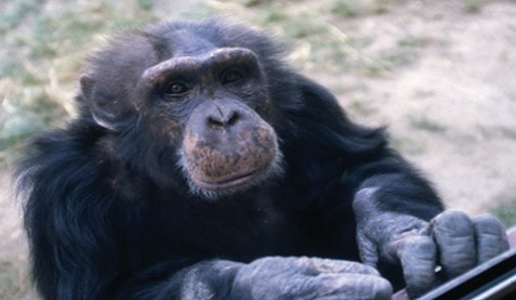 CHCI to receive or relocate chimp population