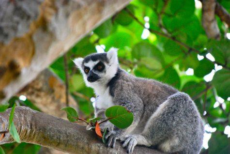 Lemur expert speaking on primate care
