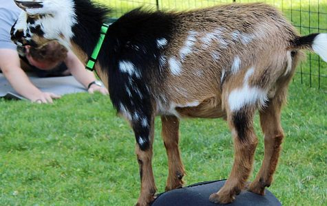 "Downward dog or downward goat? Campus Activities hosts CWU's first ""Goat Yoga"""