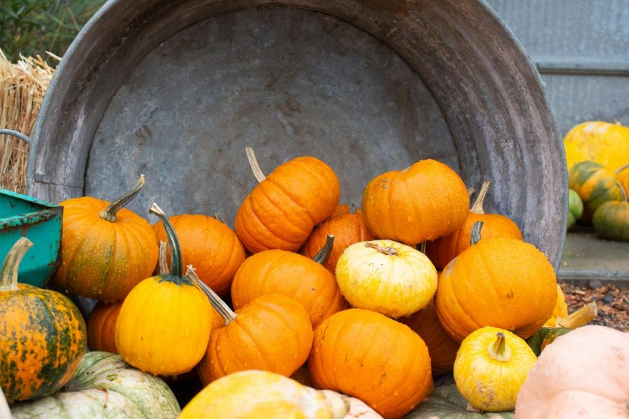 Pumpkins+at+Huffman+Farms
