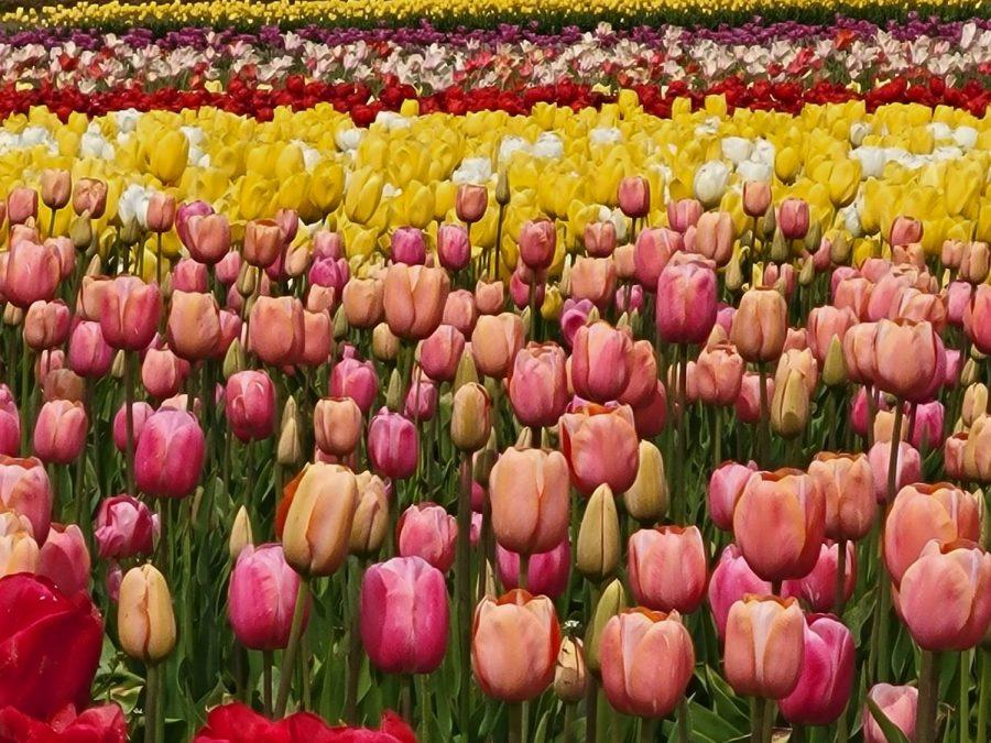 Too late for tulips? A taste of Washington